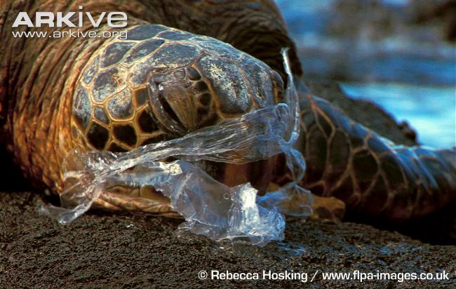 green-turtle-suffocating-on-plastic-bag